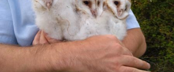 Conservation Helps Barn Owls In Area