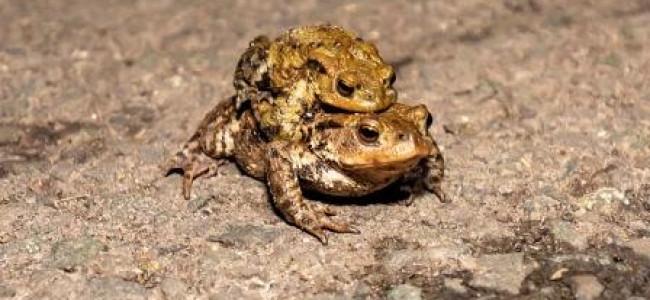 Wokingham Toad Migration Help
