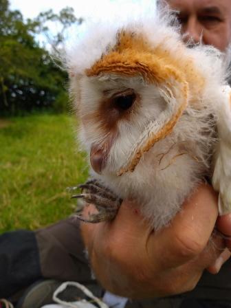 Barn Owls - Wokingham