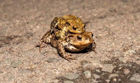 Wokingham Toad Migration